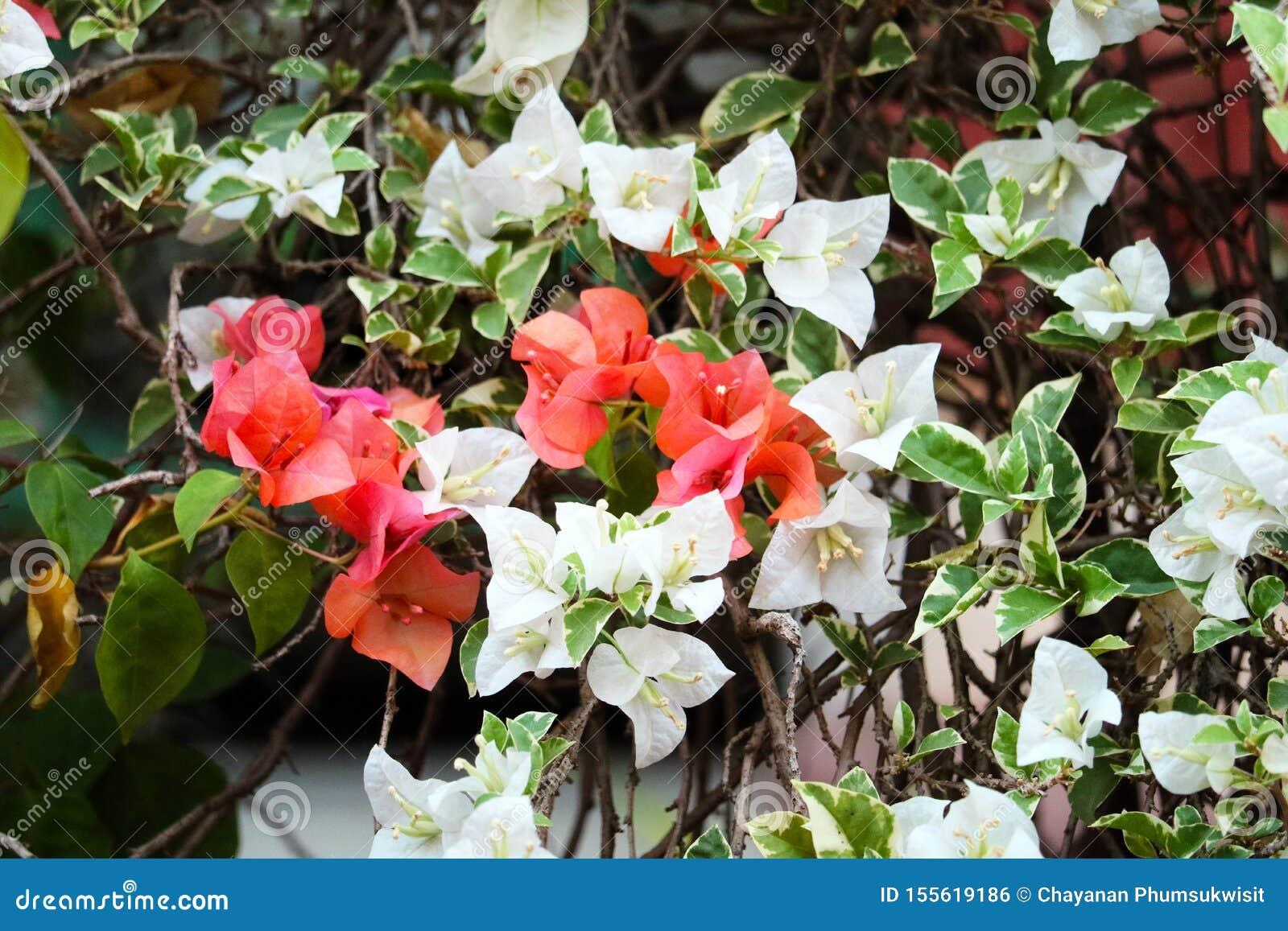 Bougainvillea flower blooming in garden blur green leaves