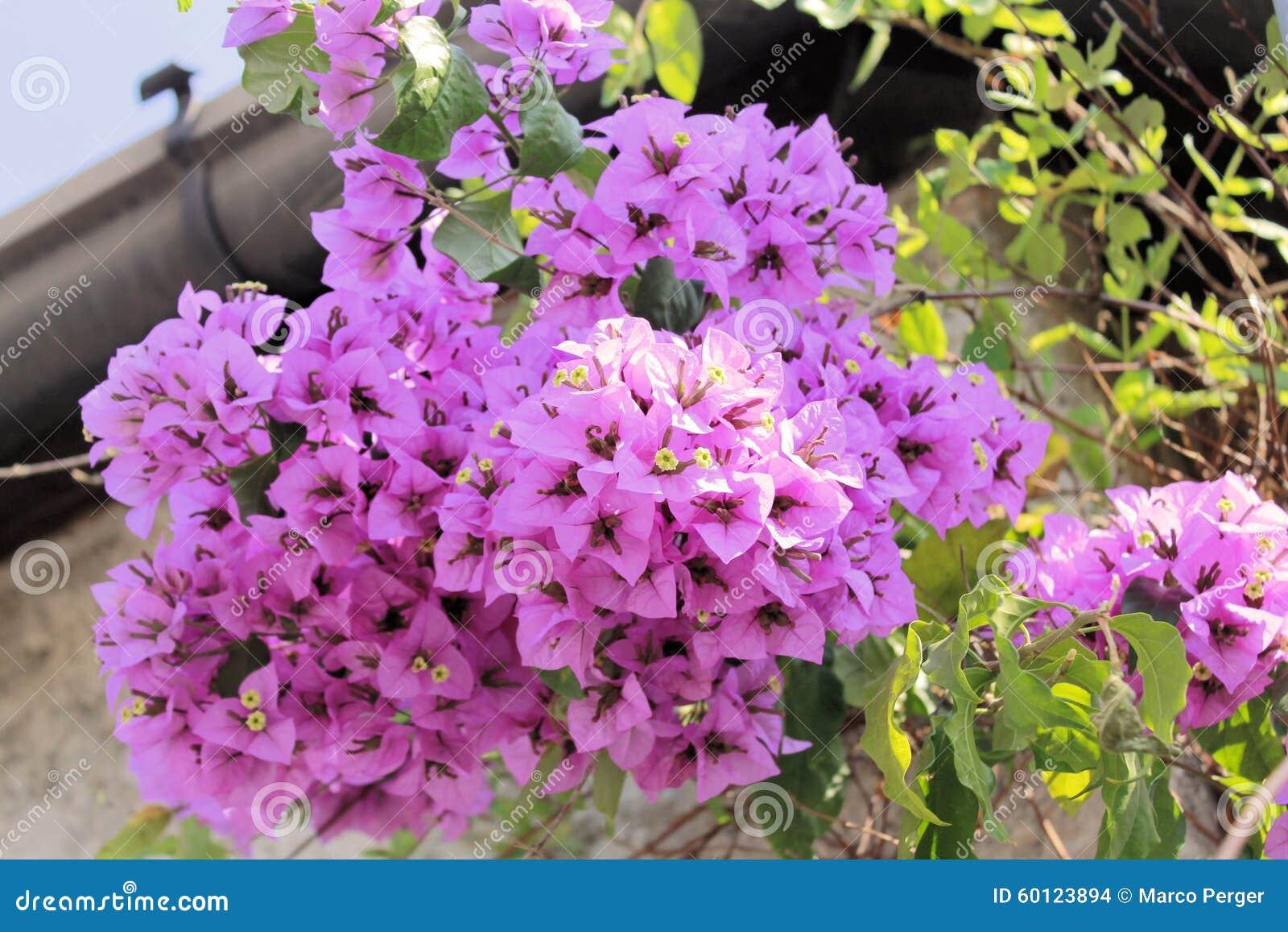 Bougainvillea stock photo  Image of floral, plants, elegance