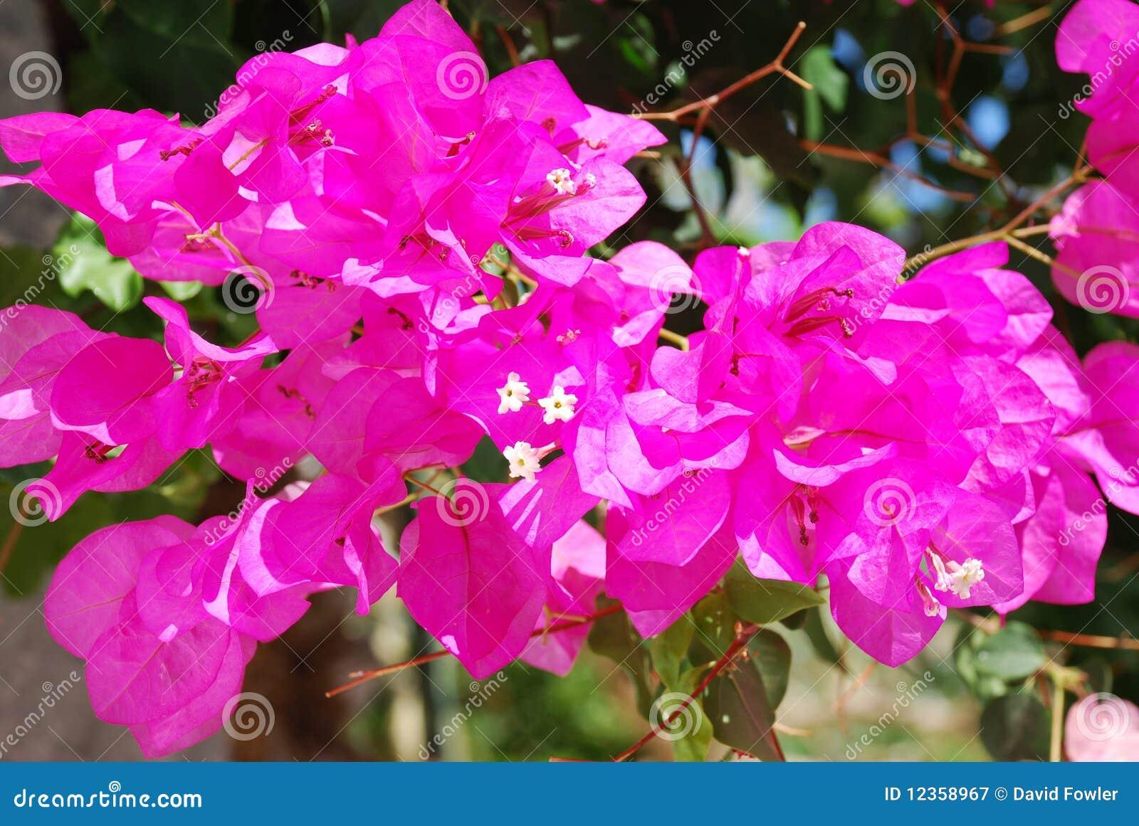 Bougainvillea flower greece stock image image of bougainvillea bougainvillea flower greece mightylinksfo