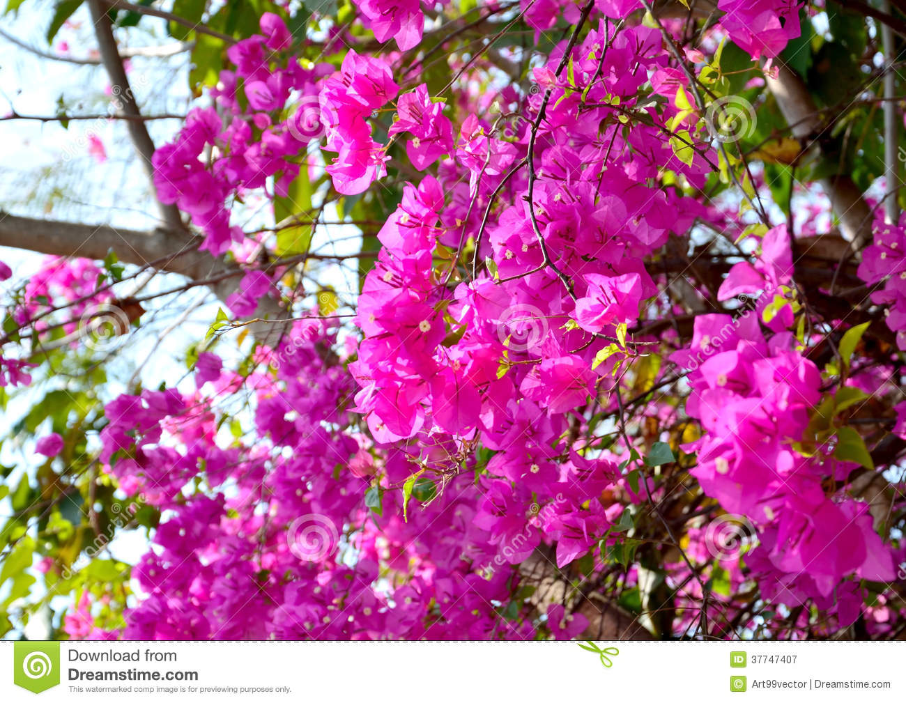 Flowers that bloom in the winter - Beautiful Bloom Bougainvillea Chiang Excitement Flowers
