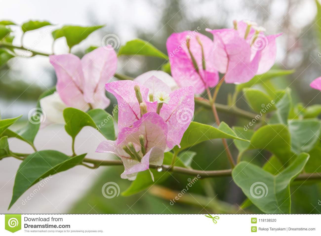 Bougainvillea Flower With Leaves Beautiful Paper Flower Stock Photo