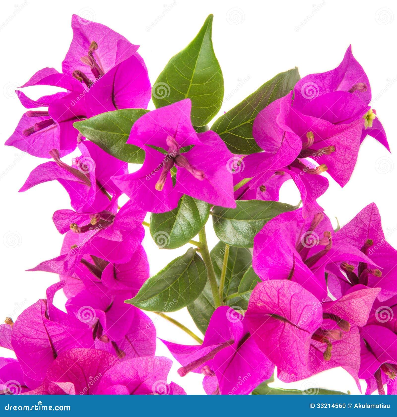 Bougainvillea stock photo image 33214560 - Fotos de buganvillas ...