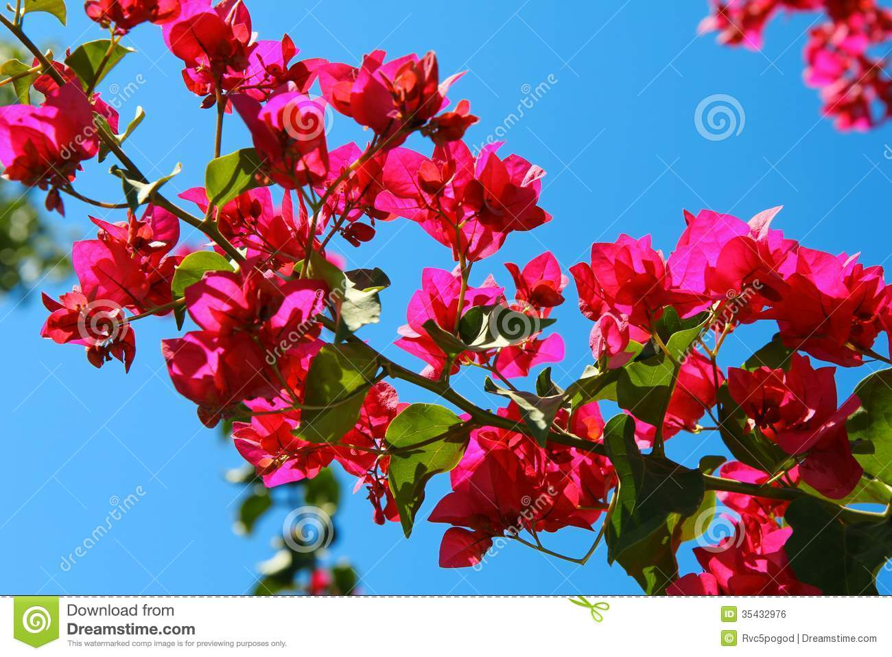 Bougainvillea Flowers On Blue Sky Background Stock Photo ...