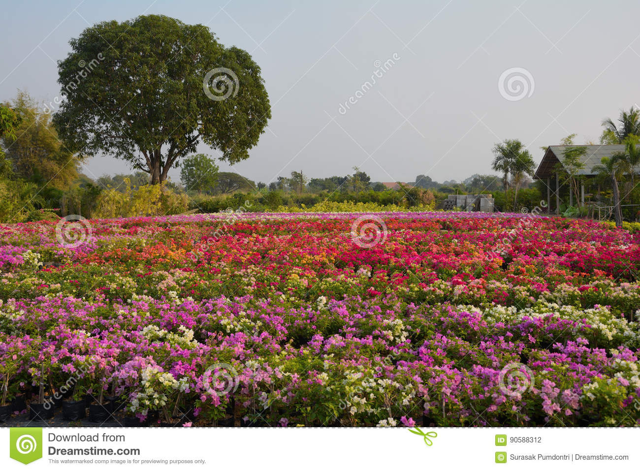 Bougainvillea Flowers At The Garden, Stock Photo - Image of plant ...