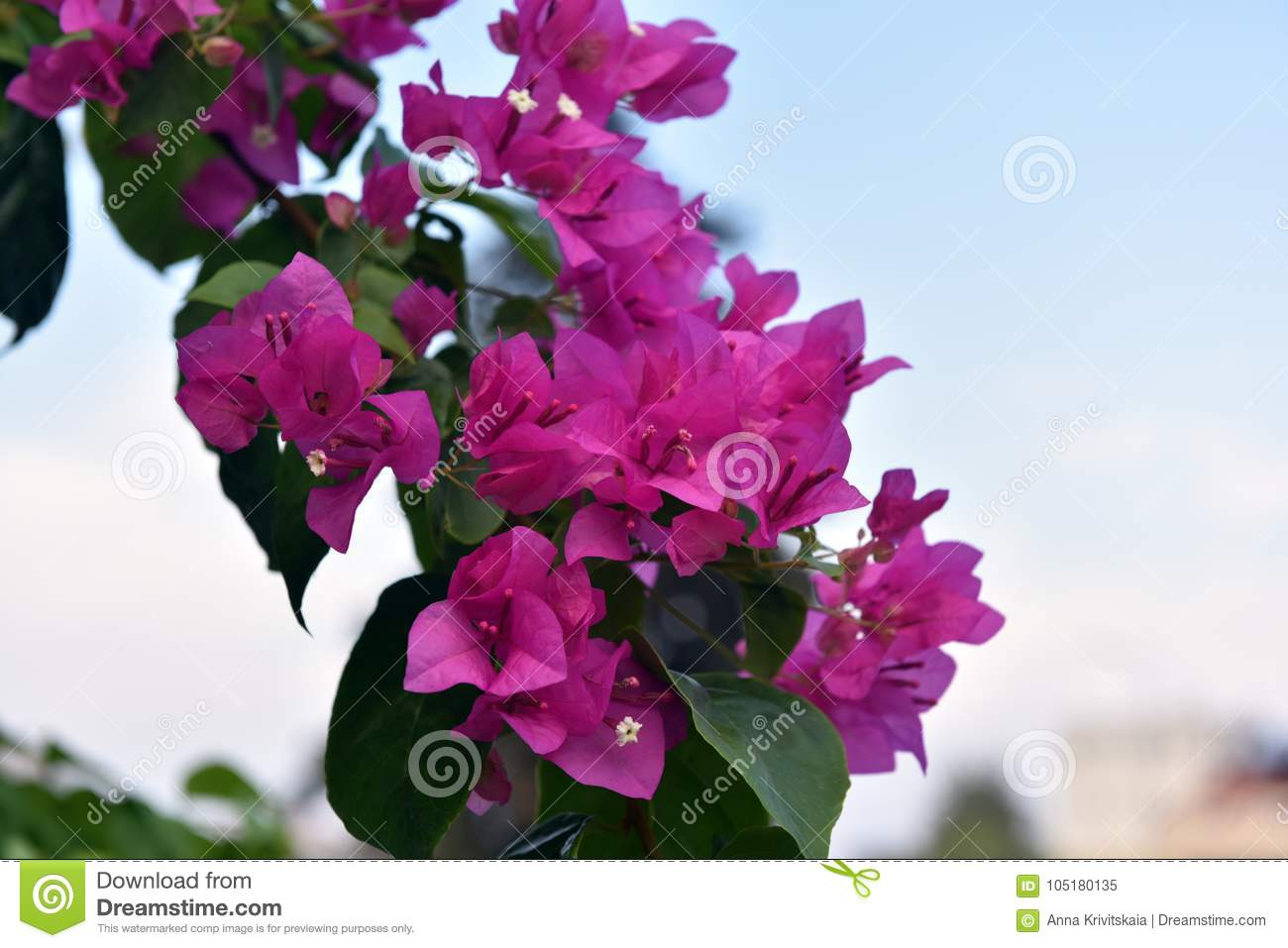 Bougainvillea Or Paper Flower Stock Image Image Of Climate Beauty