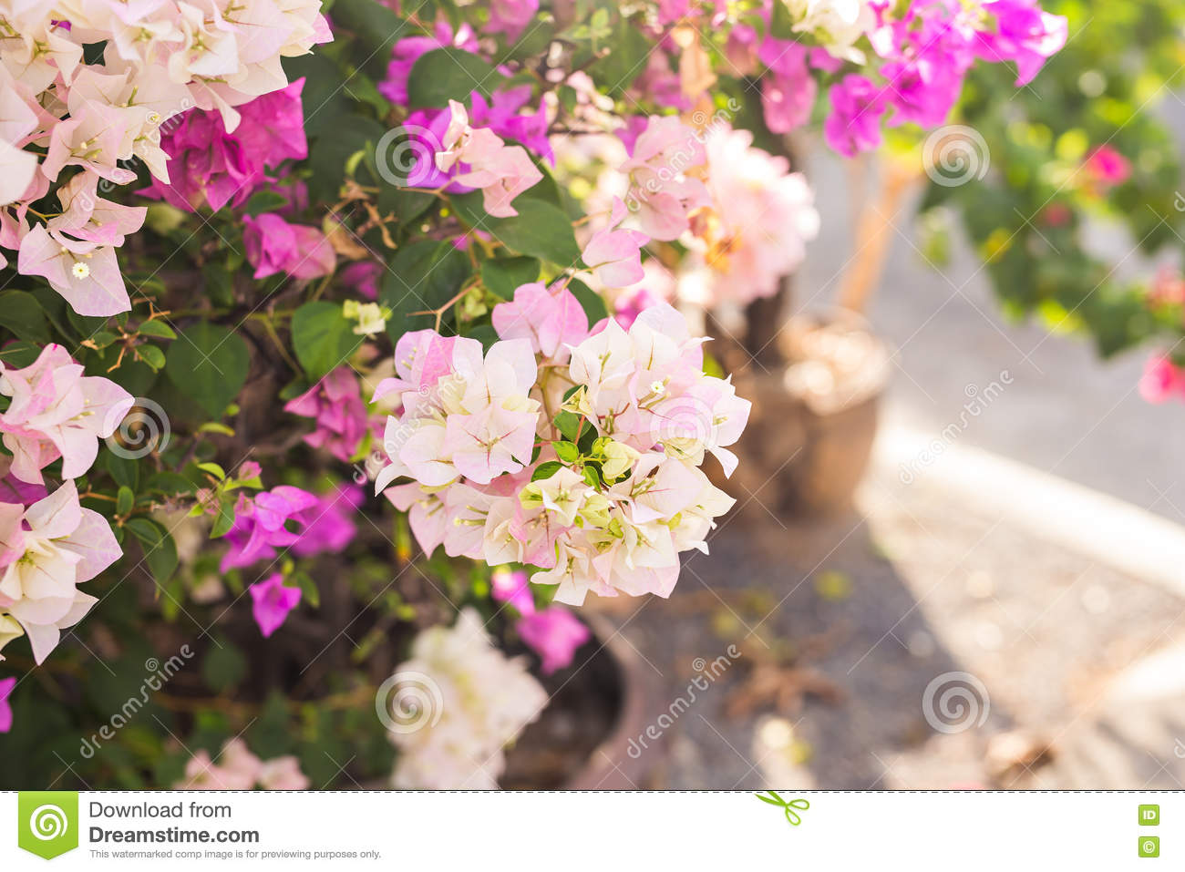 Bougainvillea Paper Flower In Colorful Color Stock Photo Image Of