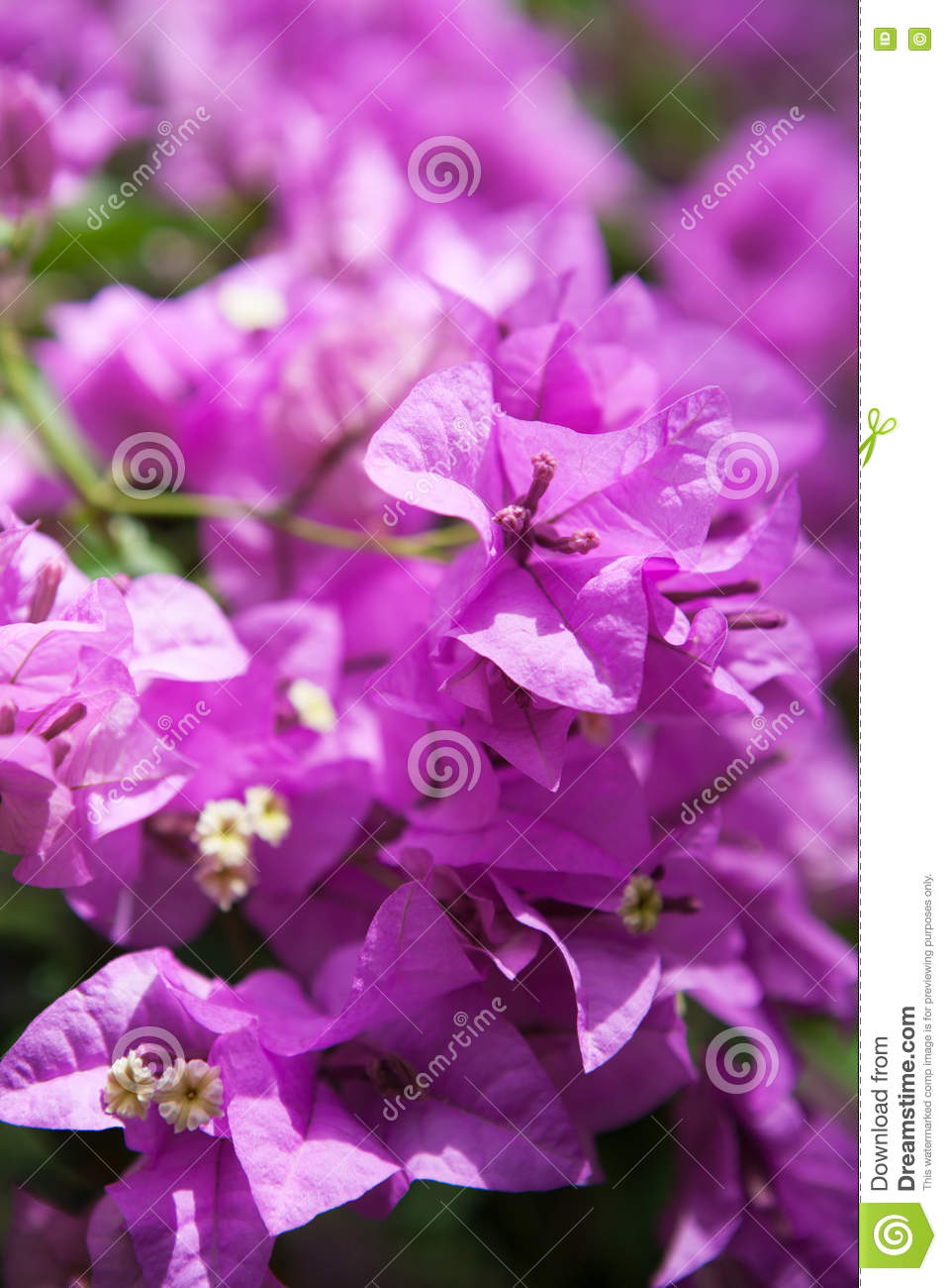 Bougainvillea Or Paper Flower Is A Kind Of Tropical Plant Stock