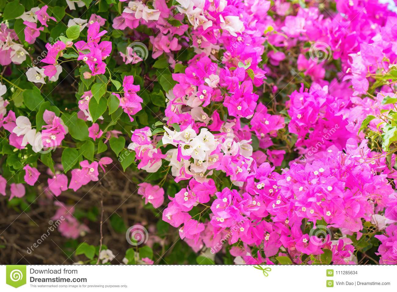 Bougainvillea Paper Flower Pink And White Color Stock Photo Image