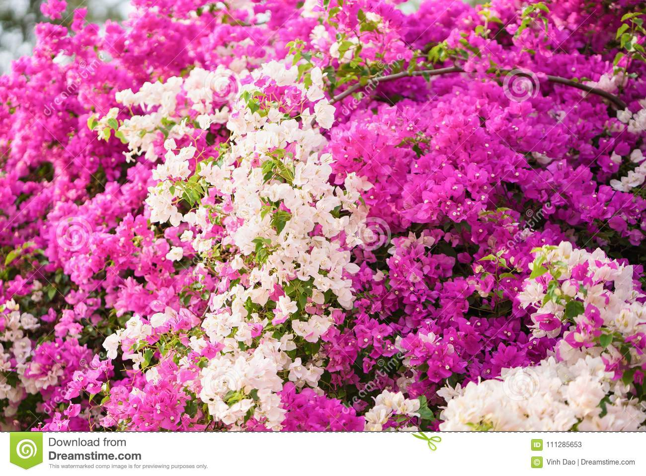 Bougainvillea Paper Flower Pink And White Color Stock Image Image