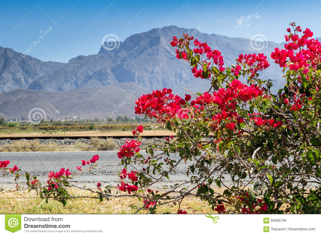 Fine Bougainvillea Plant In Flowers On Barbed Wire Fence Next To High Wiring Digital Resources Anistprontobusorg