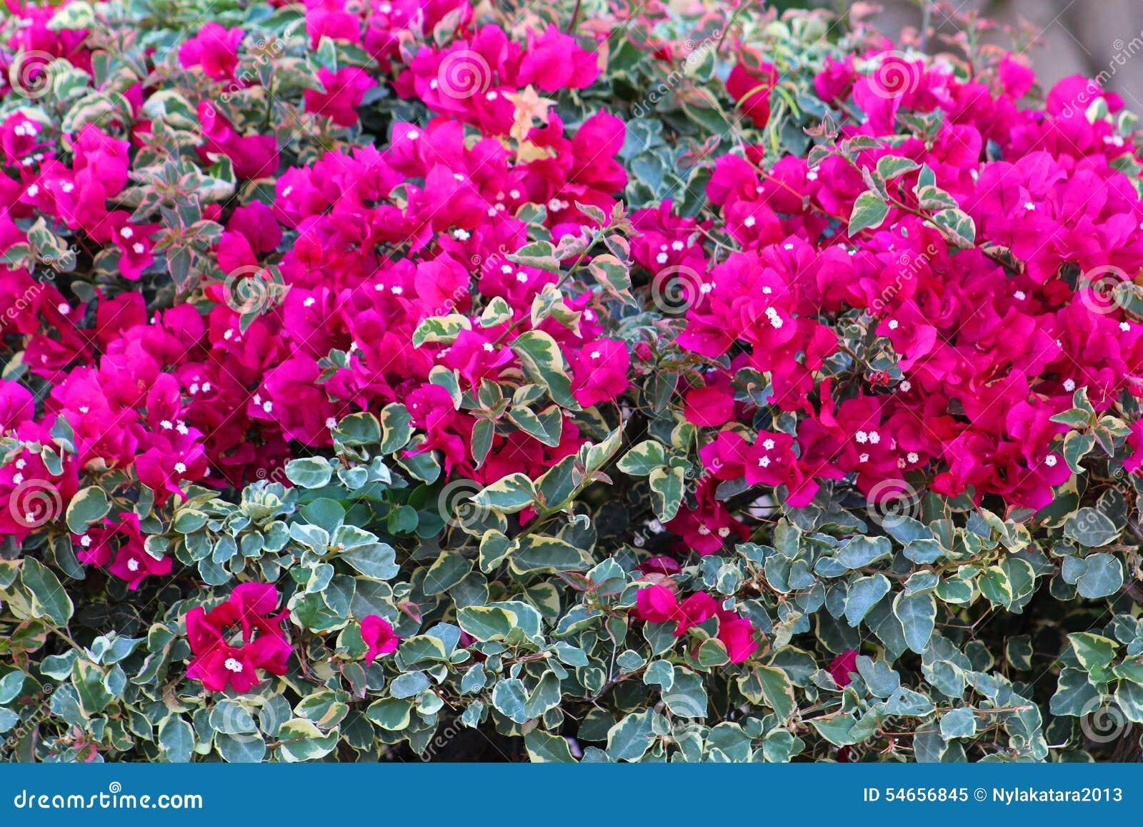 Bougainvillea stock image Image of hybrids pruned