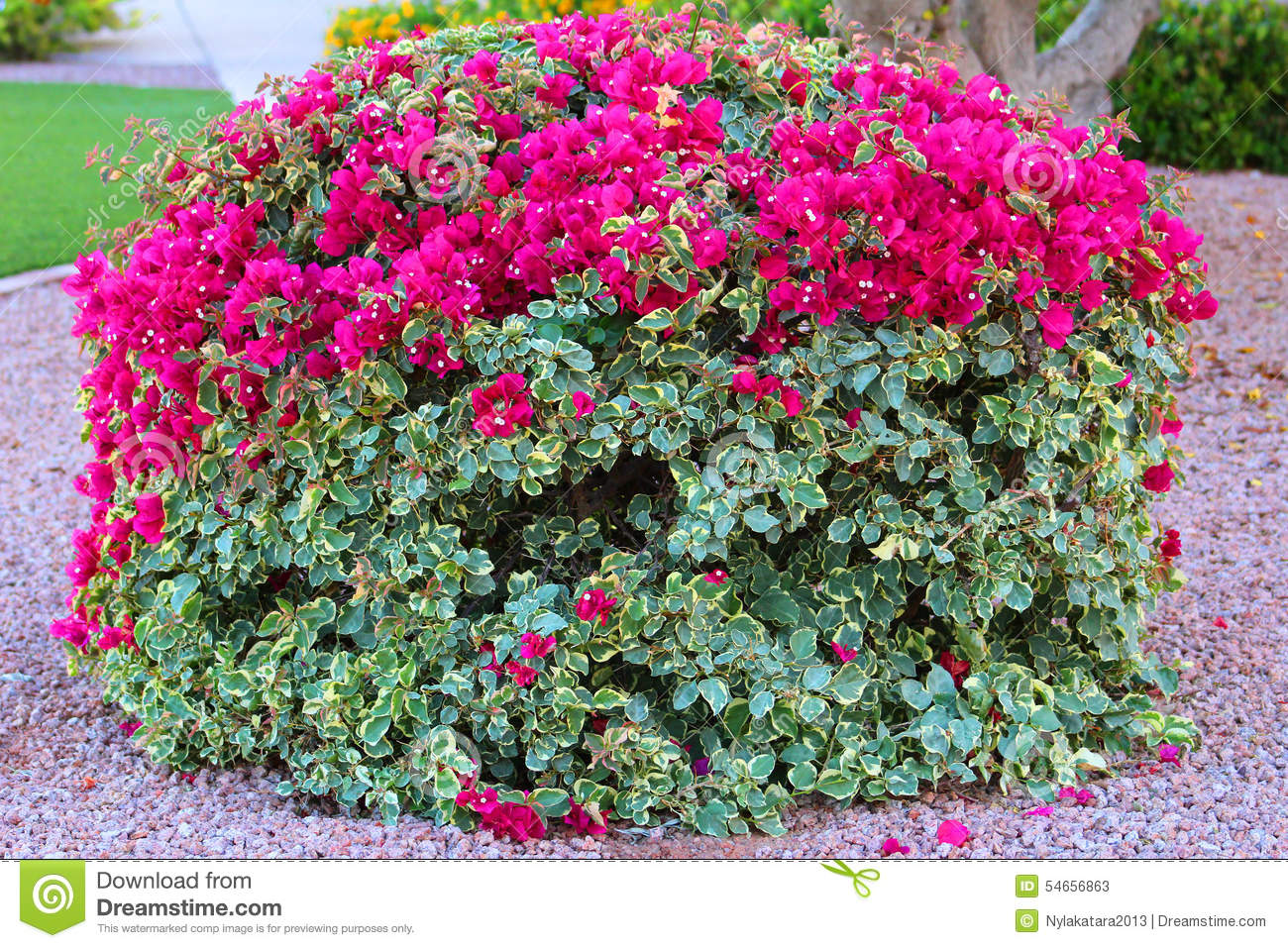Hedge Bougainvillea Stock Photos - Download 93 Images