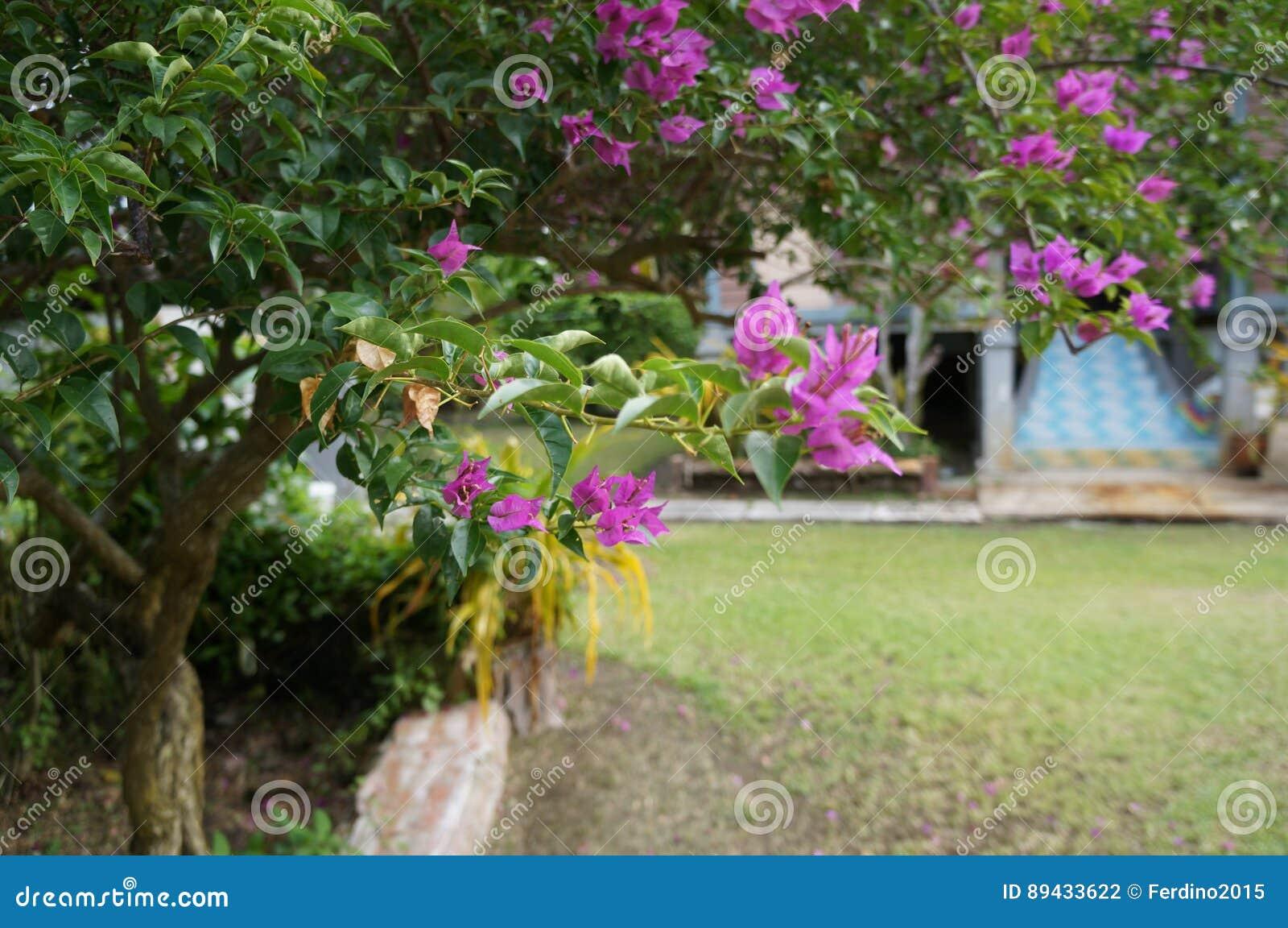 Bougainvillea Spectabilis Pink Purple Flowers Plant Asia Malaysia