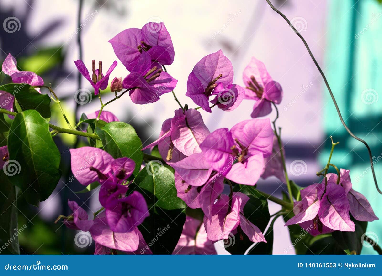 Bougainvilleabloemen in de tuin