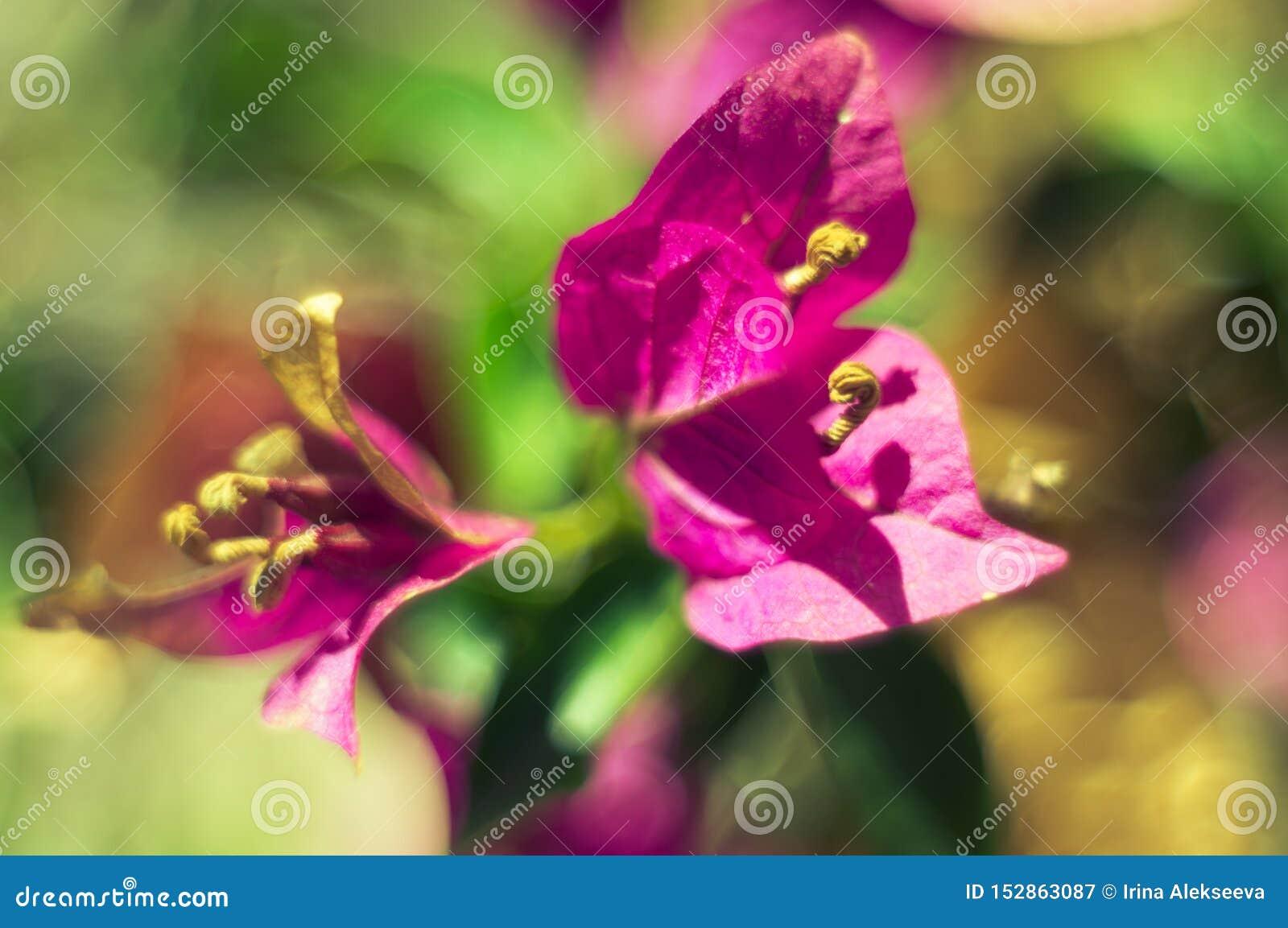 Bouganvillablumen auf einem unscharfen Hintergrund an einem sonnigen Sommertag K?nstlerischer Hintergrund Weichzeichnung, defocus