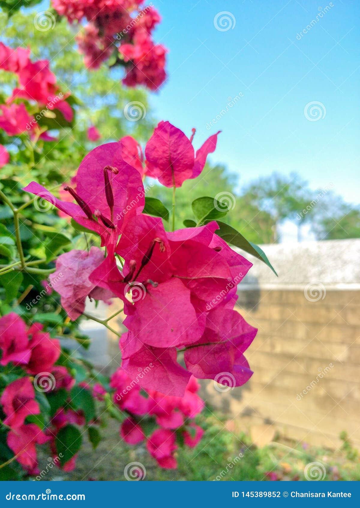 Bouganvillablumen, Papierblumen der schönen rosa Blume