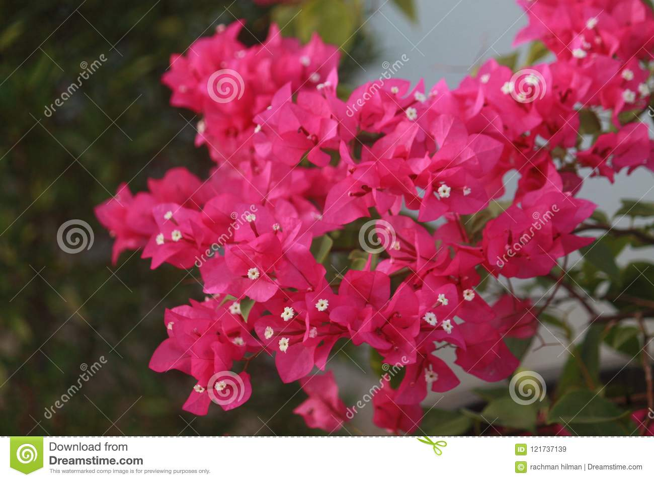 Red Bougenville In Beach Area Stock Image Image Of Flower