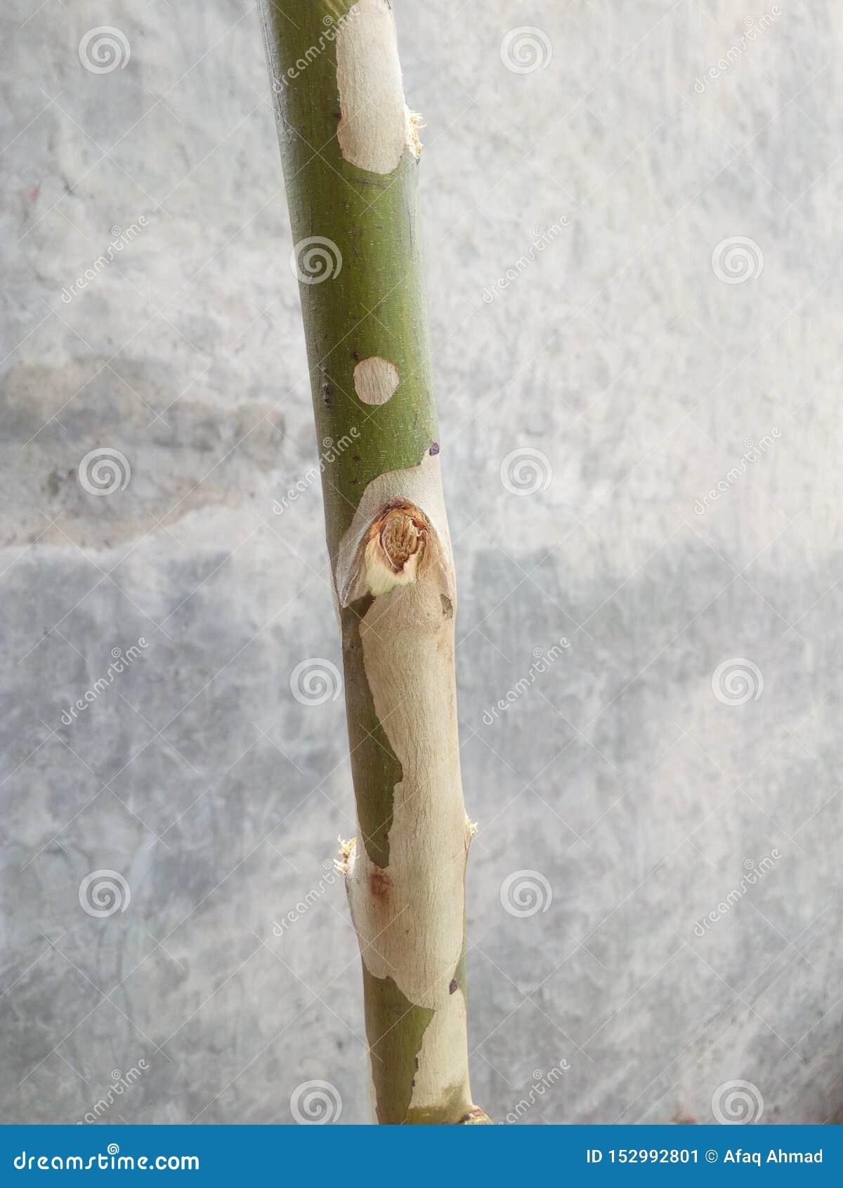 A bough of Poplar