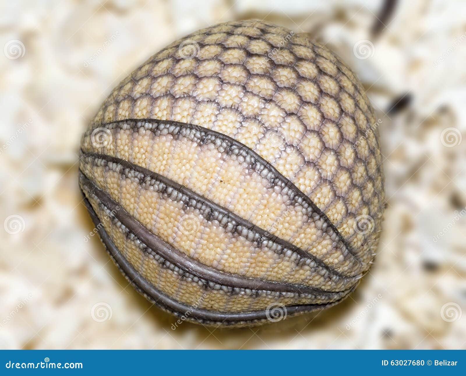 Boule De Bébé De Tatou Photo stock - Image: 63027680