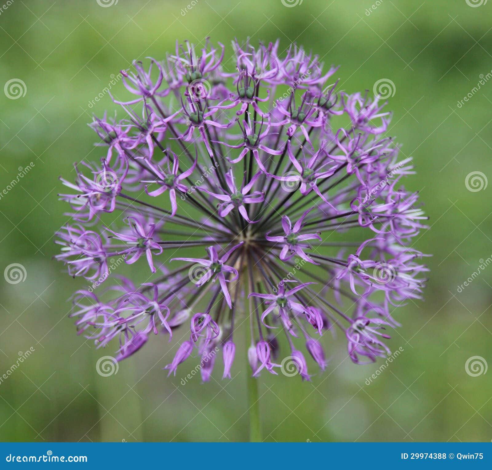Fleur Boule Mauve Plante Verte Avec Fleur Orange Vap Vap