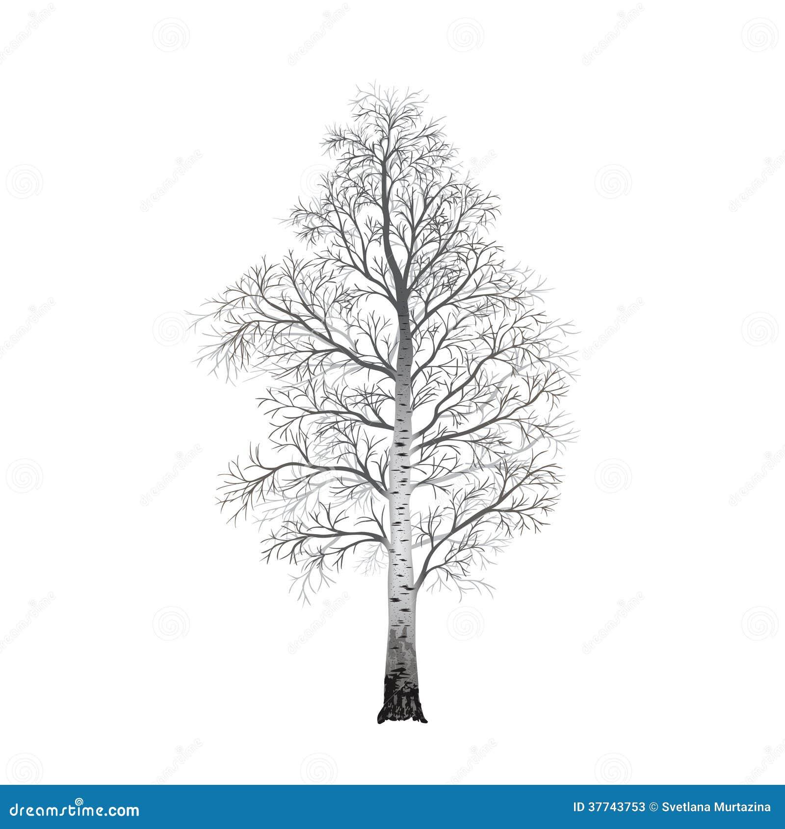 bouleau isol d 39 arbre sans feuilles illustrations illustration stock illustration du. Black Bedroom Furniture Sets. Home Design Ideas