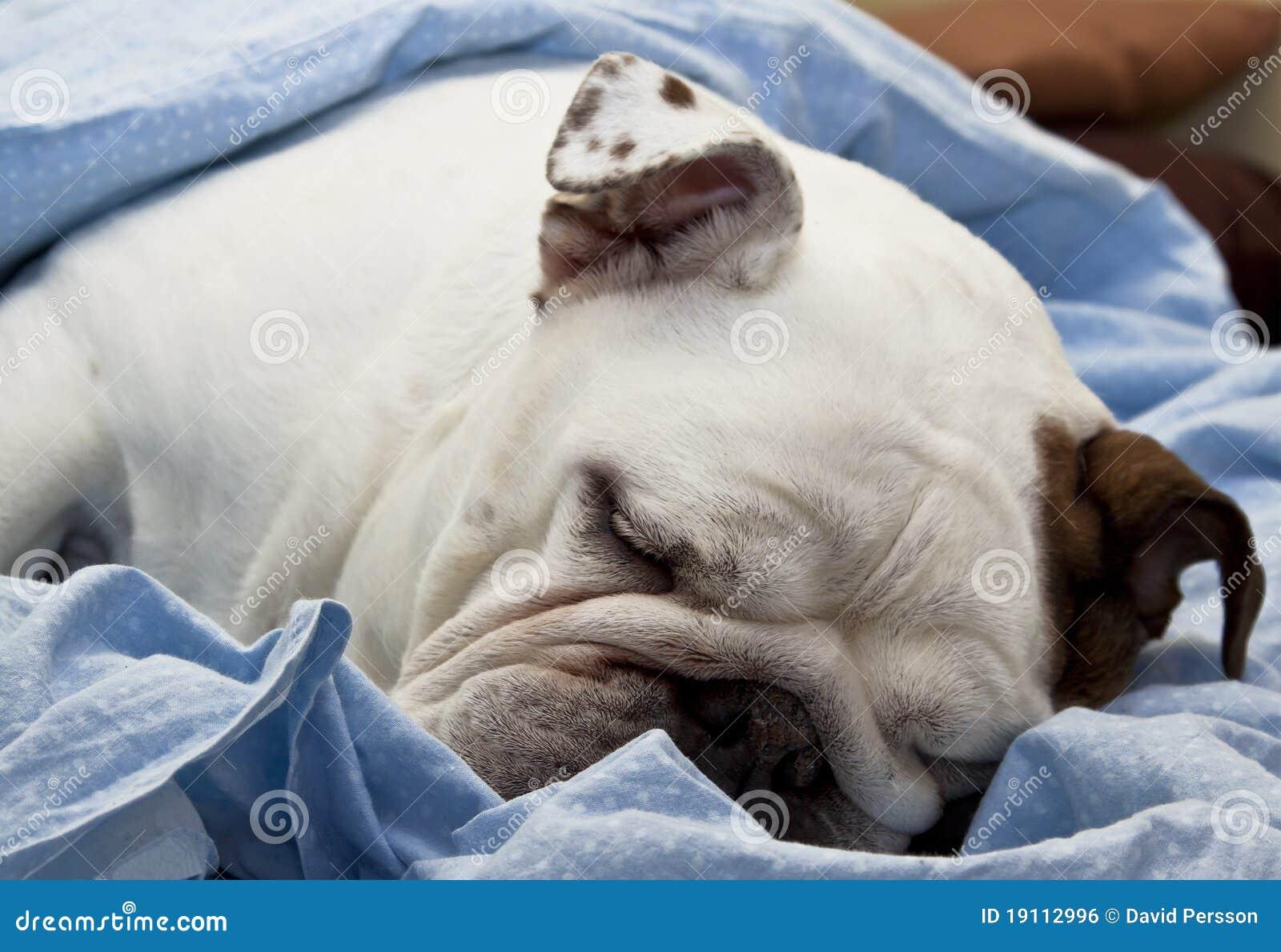 bouledogue anglais de sommeil photo stock image du yeux blanc 19112996. Black Bedroom Furniture Sets. Home Design Ideas