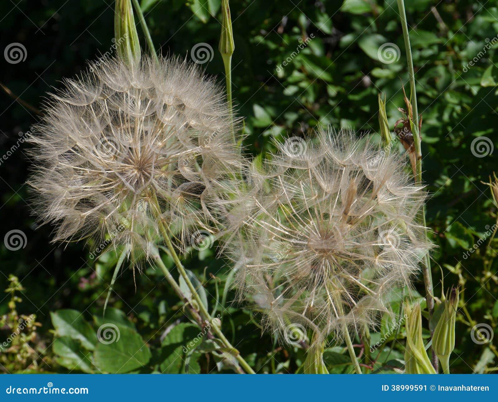 Boules de graine d une Chèvre-barbe de pré