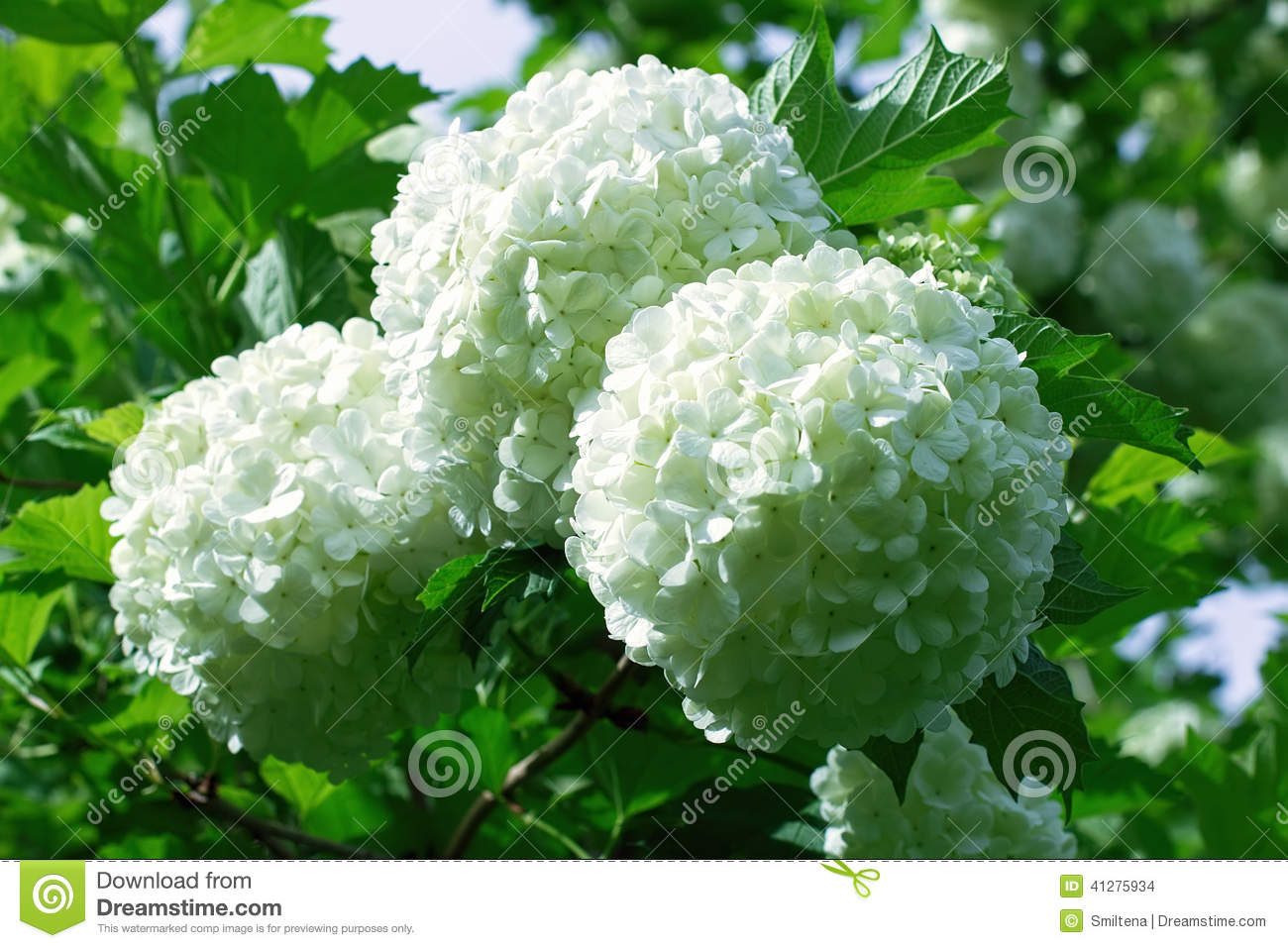boules des fleurs blanches d 39 hortensia photo stock image du floraison vert 41275934. Black Bedroom Furniture Sets. Home Design Ideas