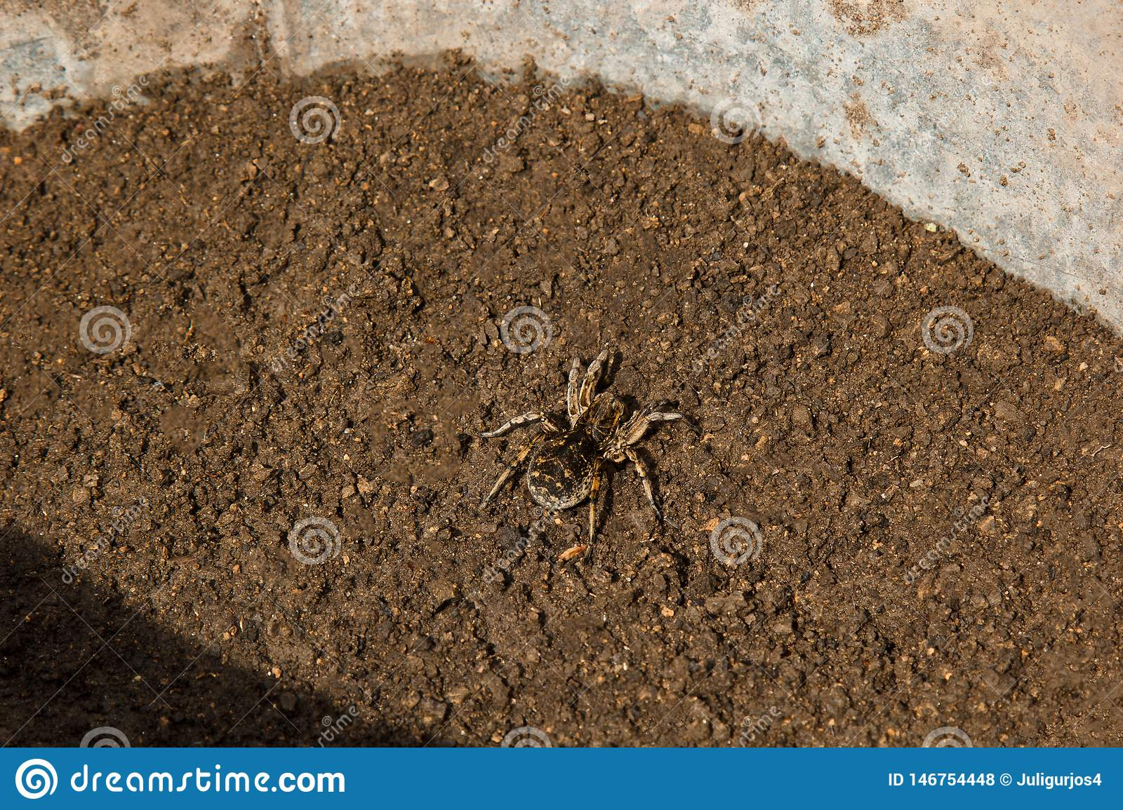 Bouncing Spider Tarantula Digs A Hole In The Ground Wolf