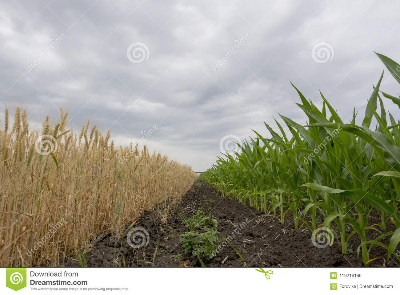 The boundary fields with maturing grain crop, rye, wheat or barley, the fields green with growing corn.