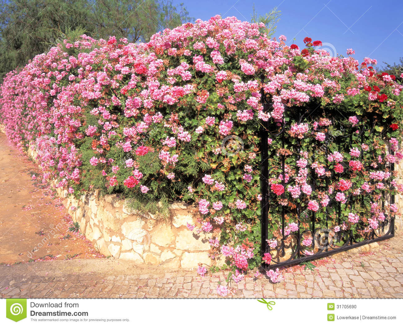 Boundary Wall And Gate Covered In Ivy Geranium Flowers Stock Image 3