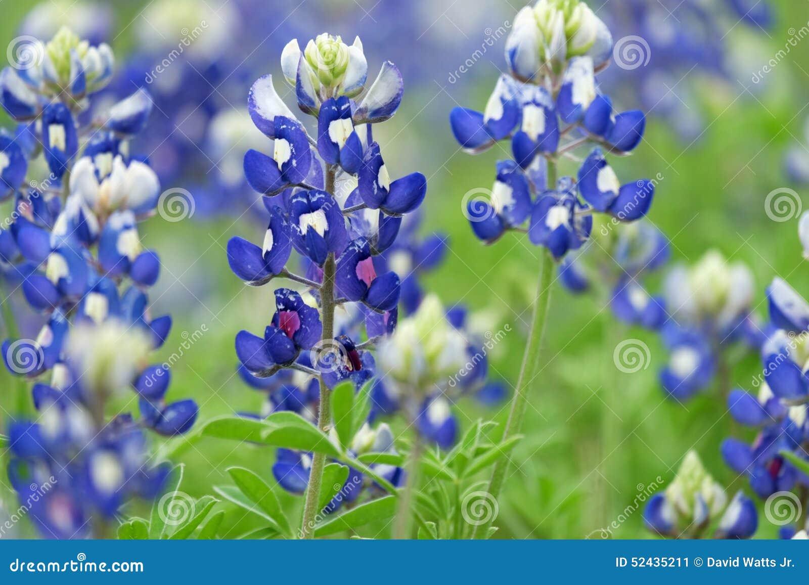 Bountiful Bluebonnets