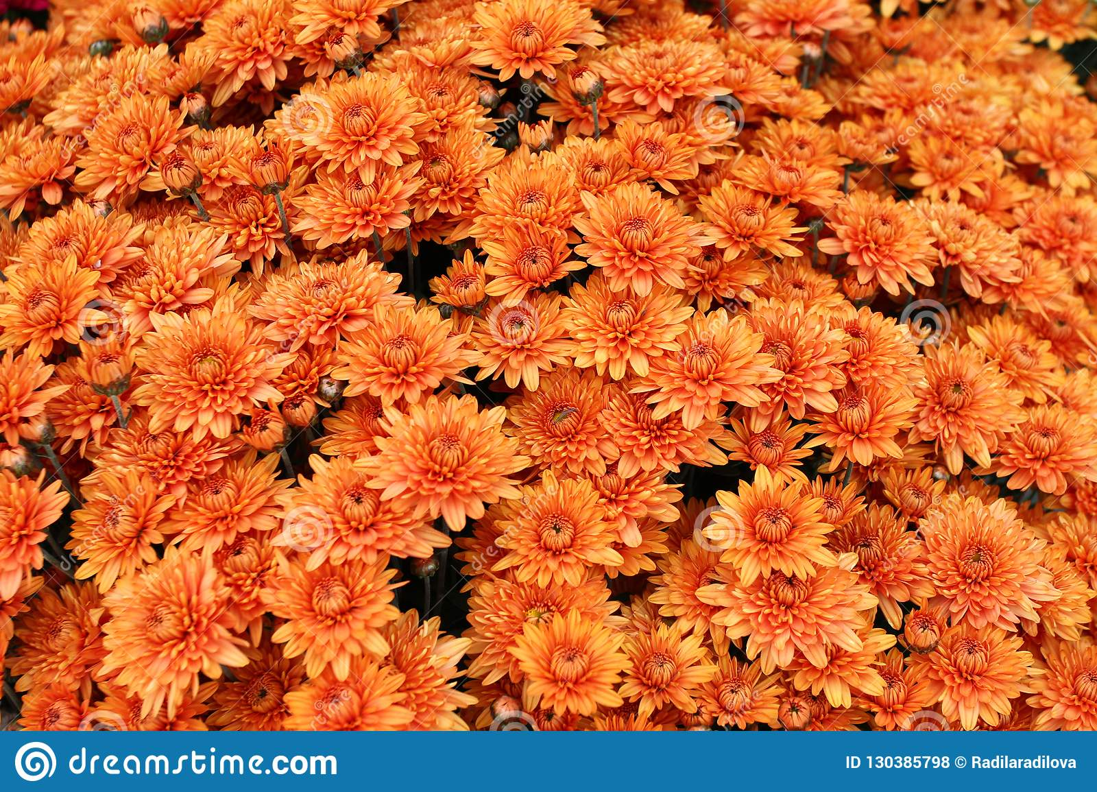 A bouquet of beautiful chrysanthemum flowers outdoors. Chrysanthemums in the garden. Colorful flower chrisanthemum. Floral pattern