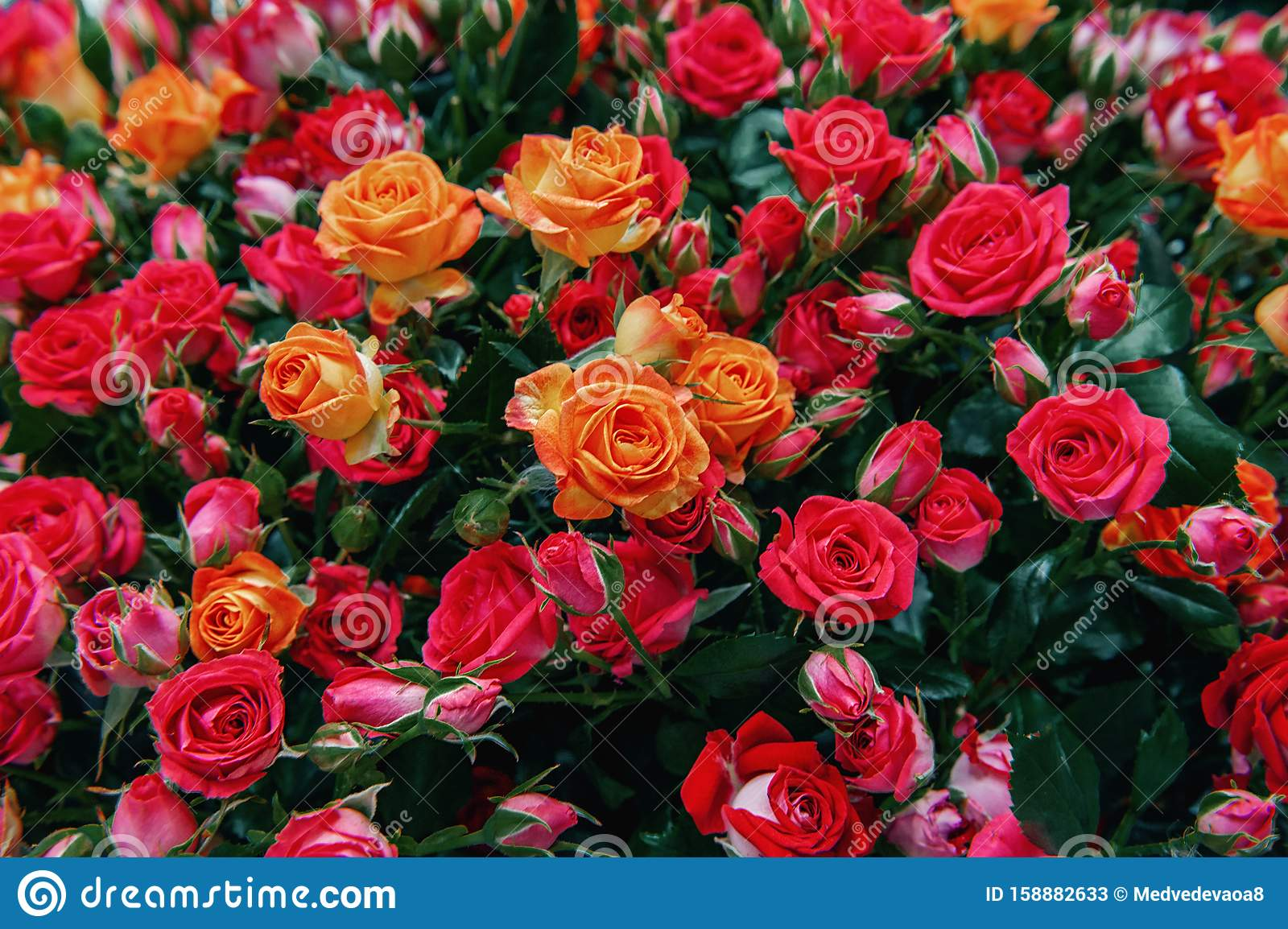 A Bouquet Of Beautiful Orange Roses Is Sold In The Market As A Birthday Gift Or Mother S Day Closeup Modern Selection Of Pink Stock Image Image Of Fresh Colorful 158882633