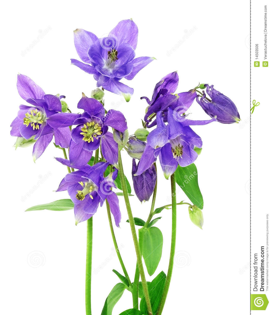 bouquet of blue columbine flowers royalty free stock image  image, Beautiful flower