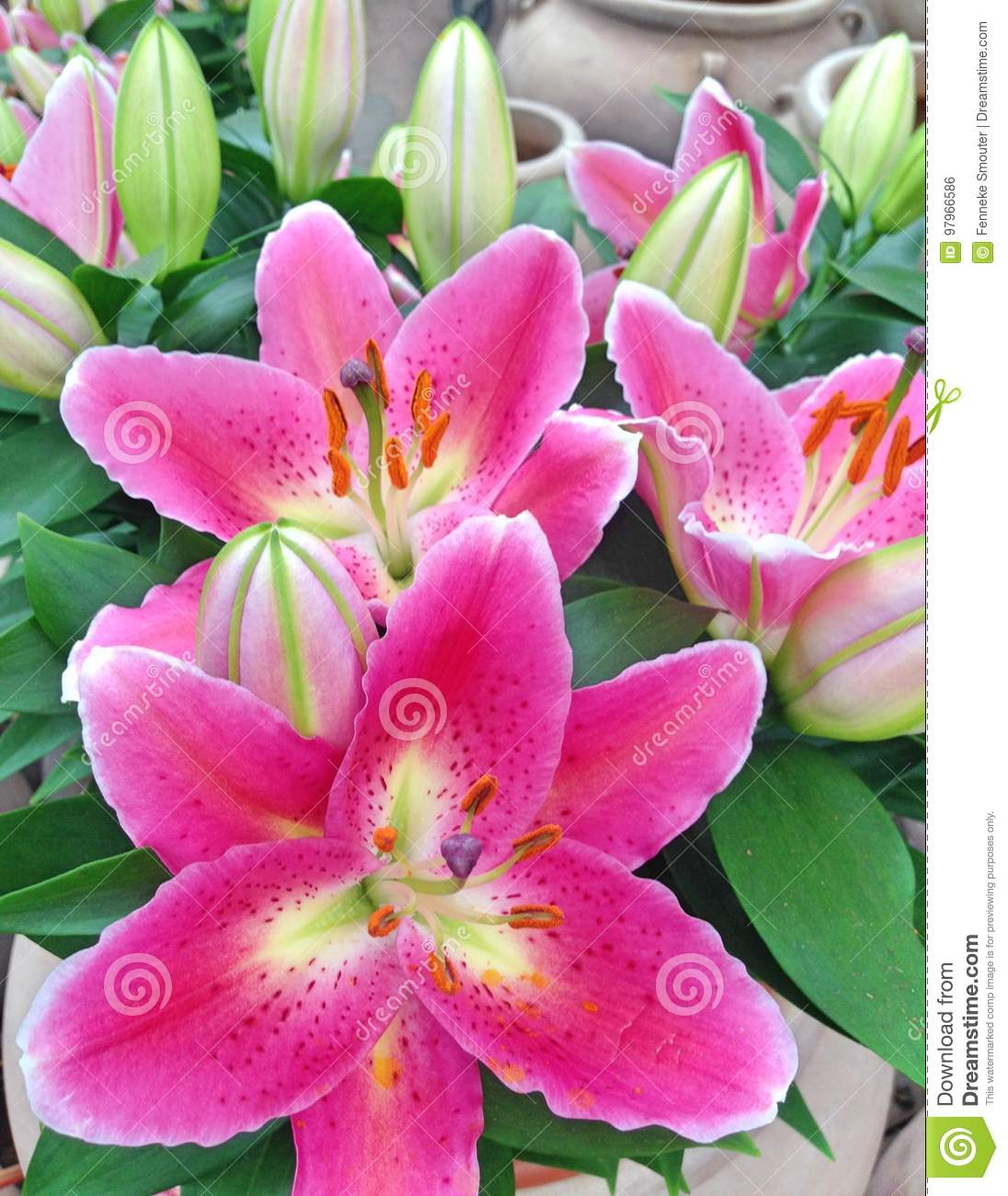 Bouquet Of Bright Pink Colored Lily Flowers And Flower Bulbs Stock