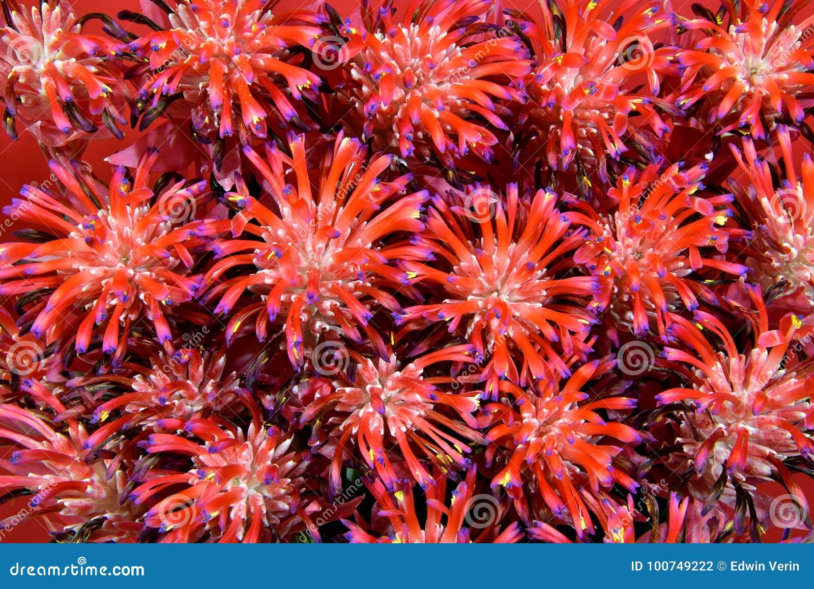 Bromeliads, Tillandsia Stricta
