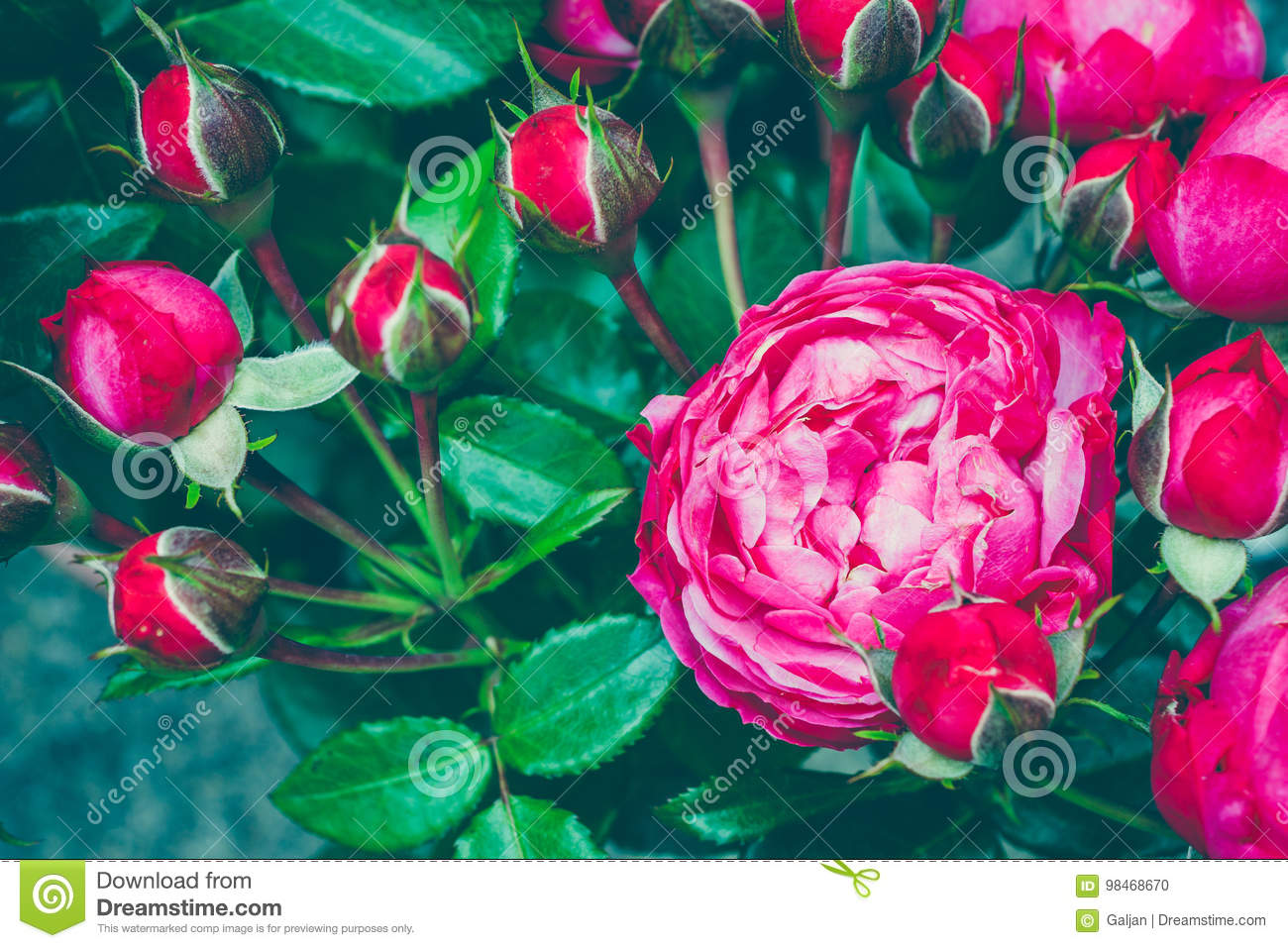 Bouquet Of Centifolia Rose With Foliage Natural Flower Soft Focus