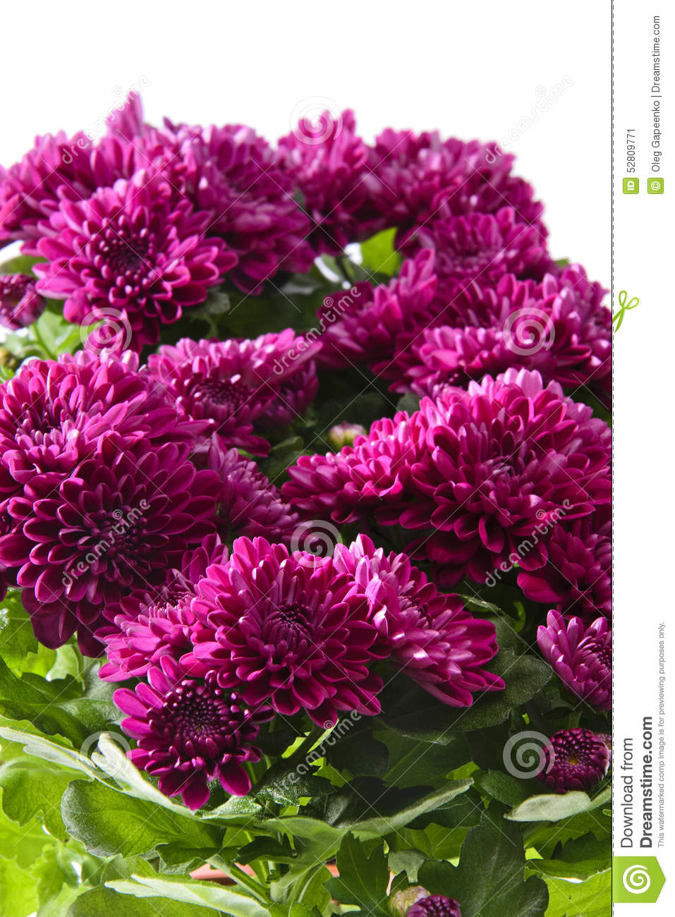 white elephants vs chrysanthemums To access full essays simply join our writing community by enter your email address choose a password donate a paper and you are good to go email: a valid email.