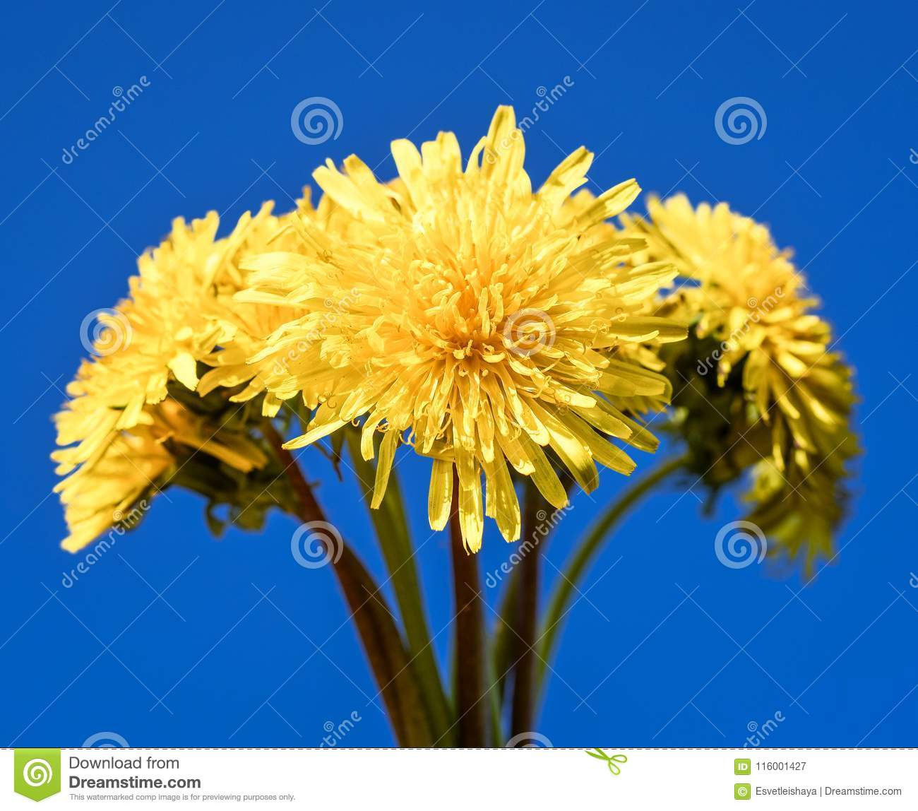 Bouquet Of Dandelions And Bright Blue Sky As Background