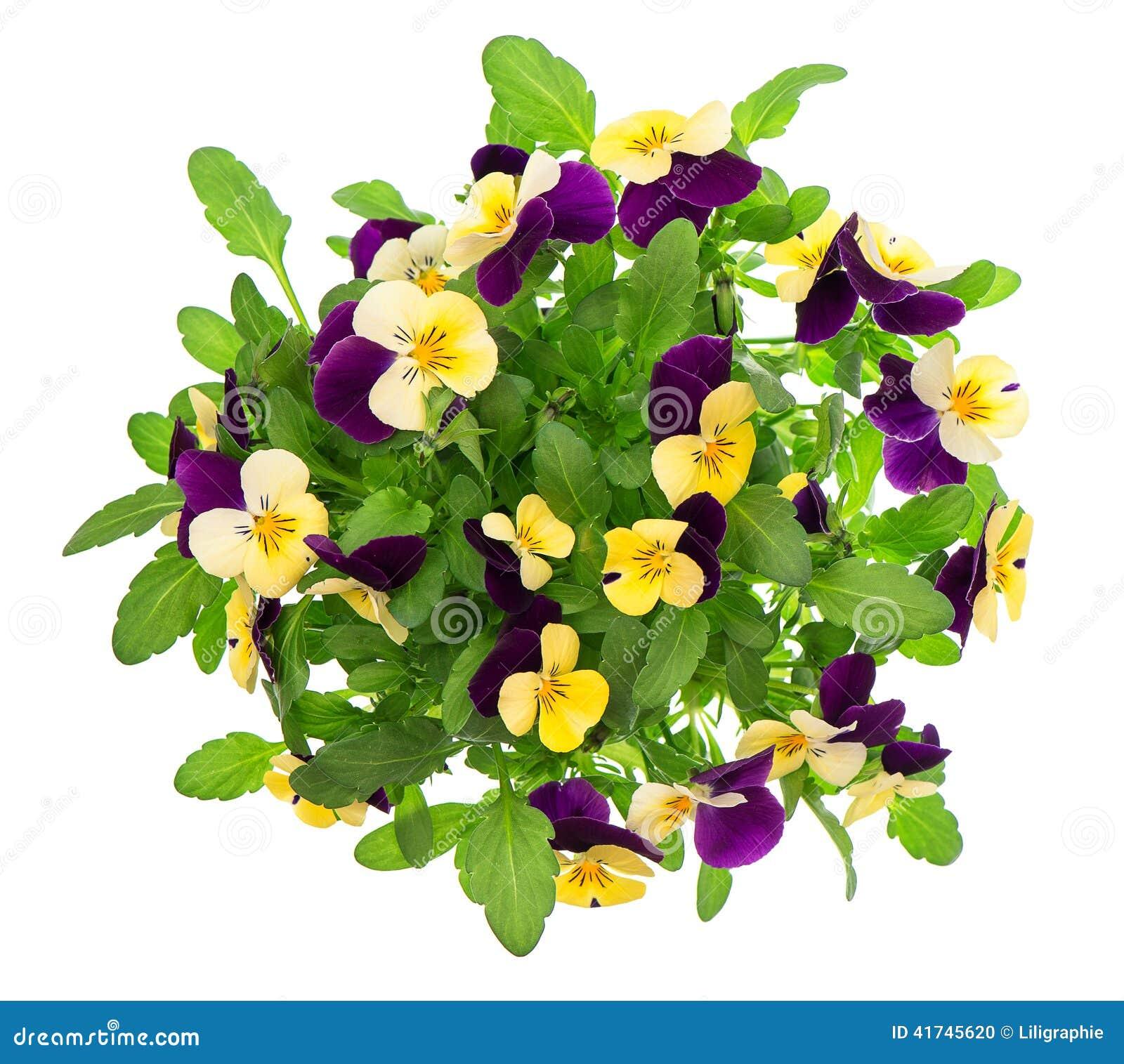 bouquet de pens e fleurs violettes et jaunes de ressort photo stock image 41745620. Black Bedroom Furniture Sets. Home Design Ideas