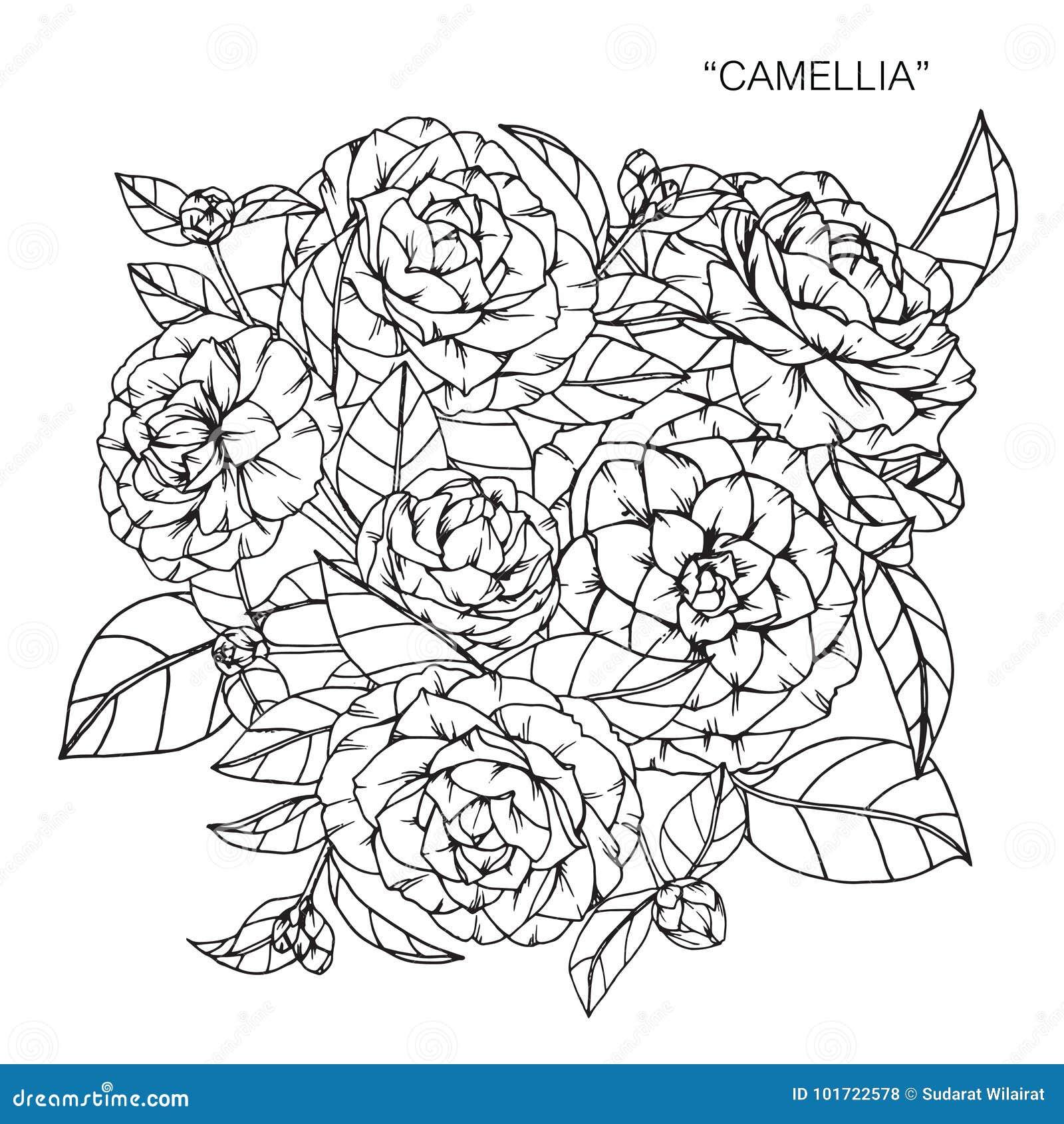 Bouquet Du Dessin Et Du Croquis De Fleur De Camelia Illustration