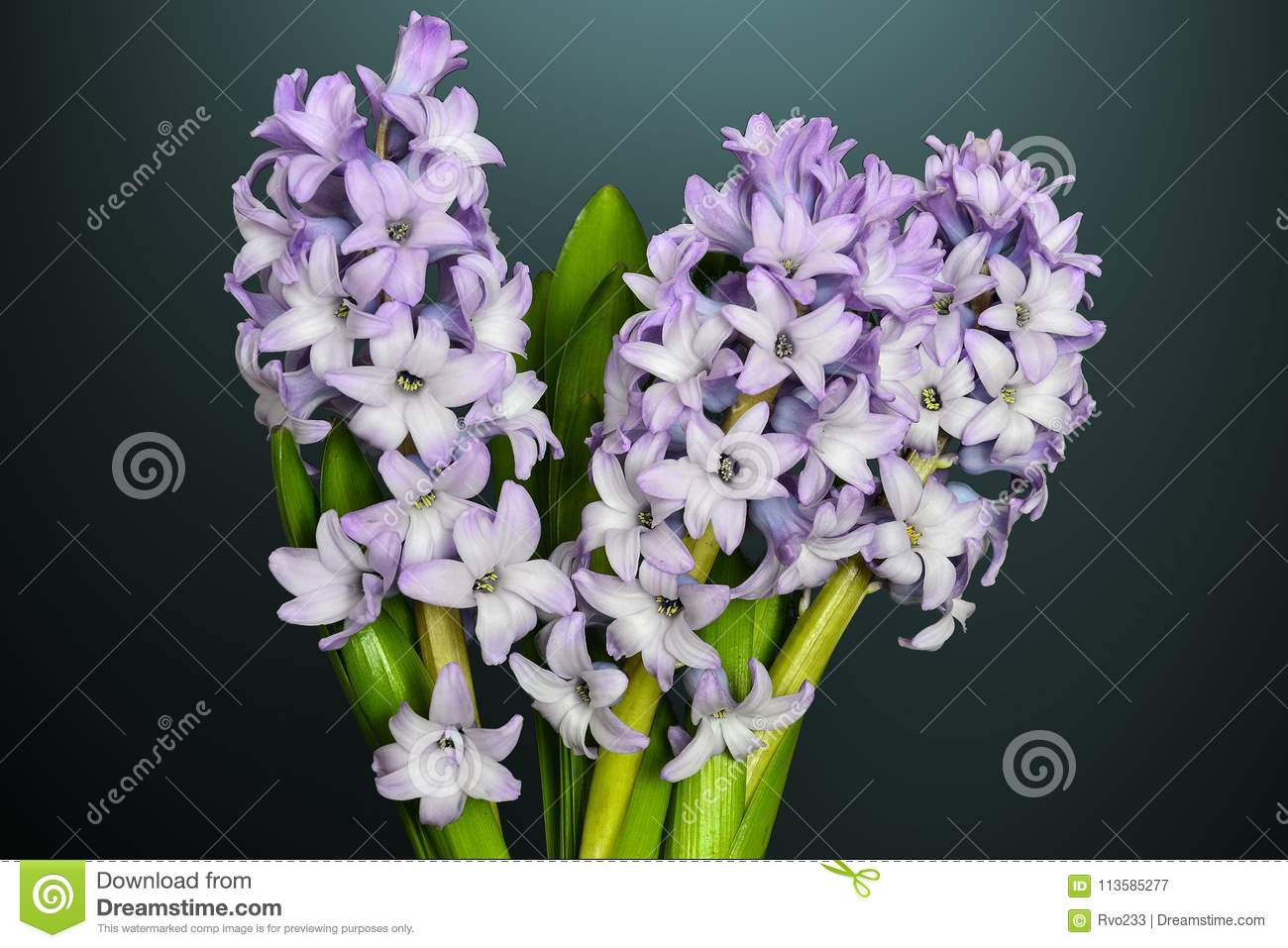 Bouquet of flowering lilac hyacinth flowers close up on stock image bouquet of flowering lilac hyacinth flowers close up on izmirmasajfo