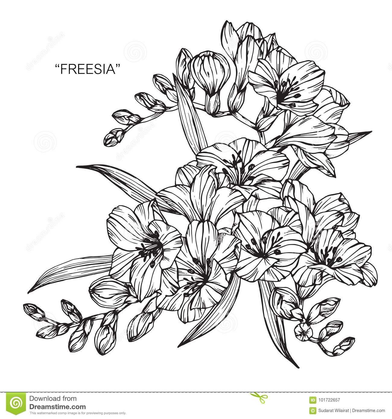 Bouquet Of Freesia Flowers Drawing And Sketch Stock Illustration