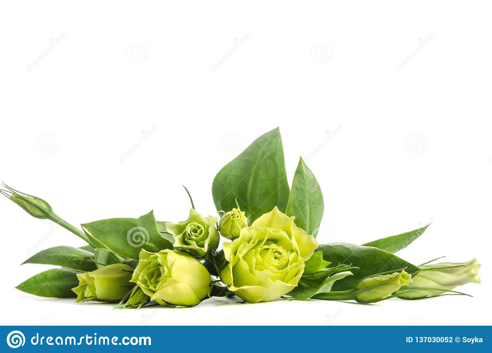 Bouquet Of Green Roses Lying On White Background Stock Photo Image Of Floral Plant 137030052