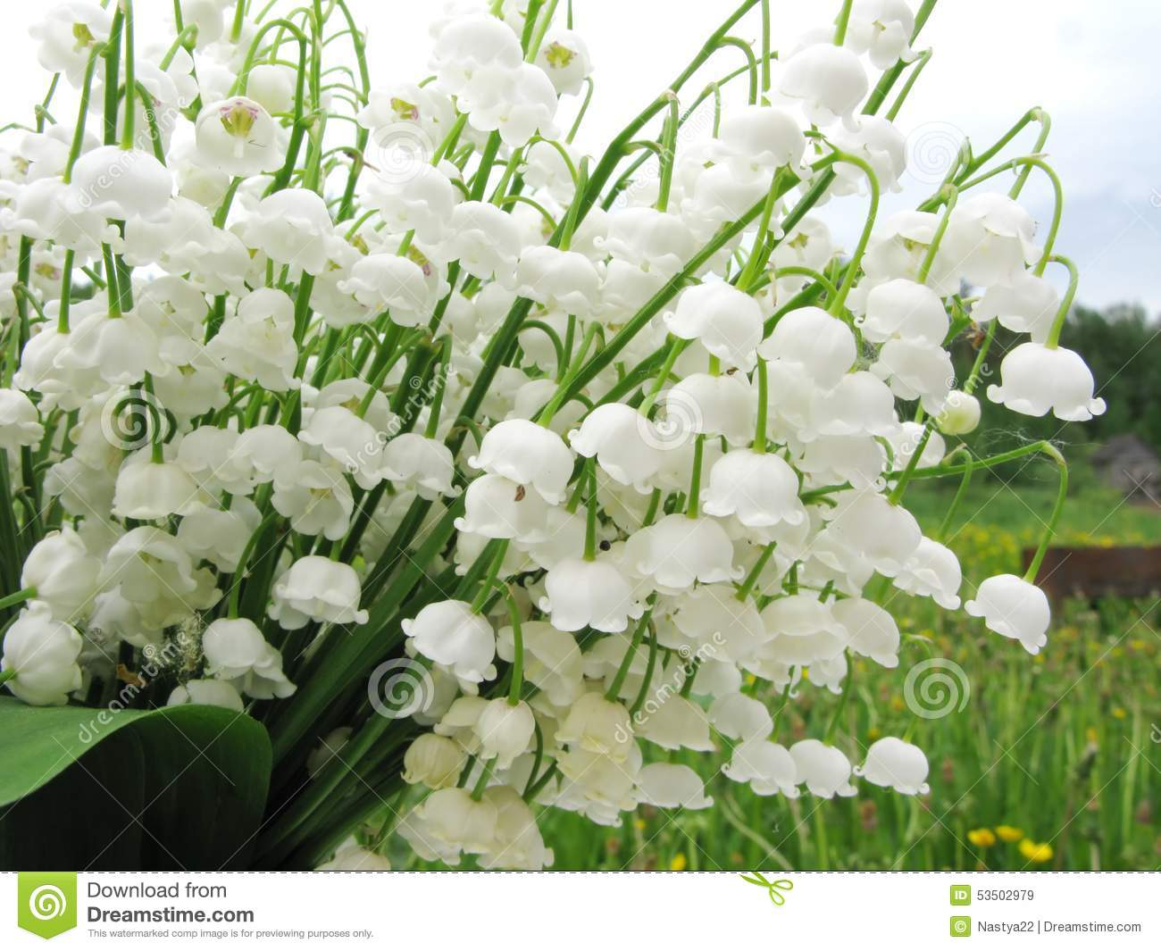 Bouquet of lily of the valley flowers stock image image of lilia bouquet of lily of the valley flowers izmirmasajfo