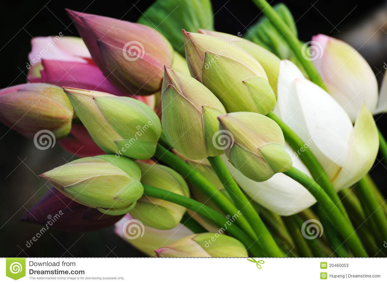 A bouquet of lotus buds stock image image of delicate 20460053 a bouquet of lotus buds mightylinksfo