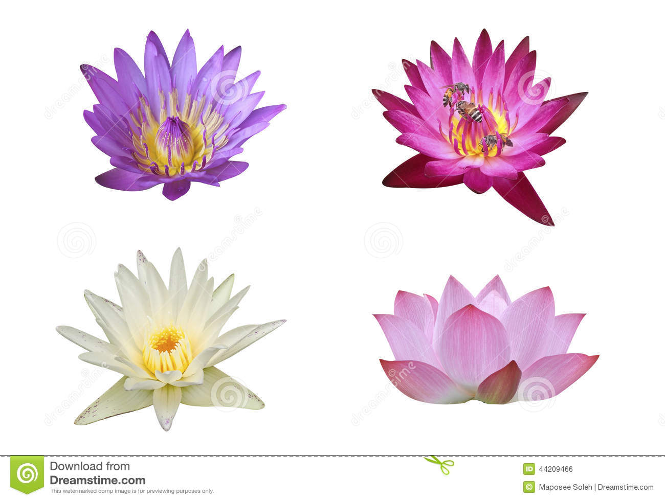 Bouquet Of Lotus Flower In Nature Lotus Pond Stock Photo Image