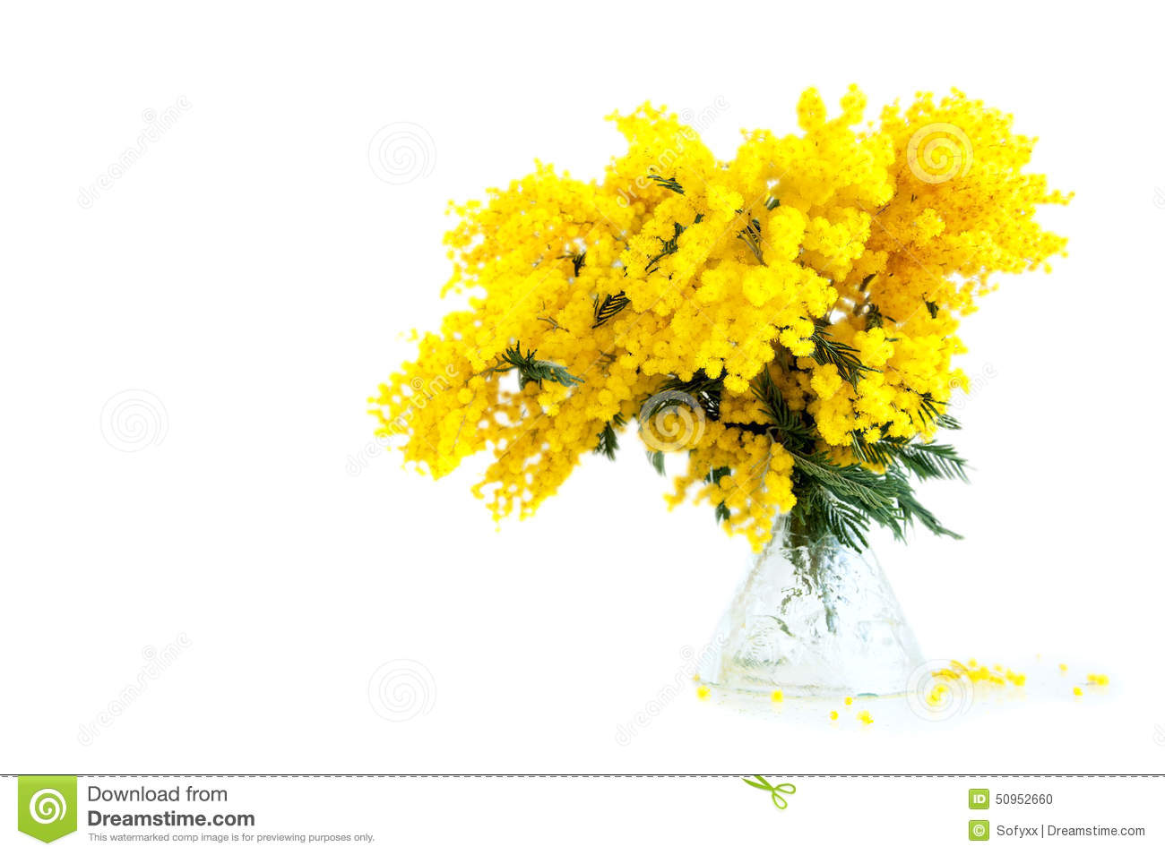 bouquet of mimosa in vase stock photo image 50952660