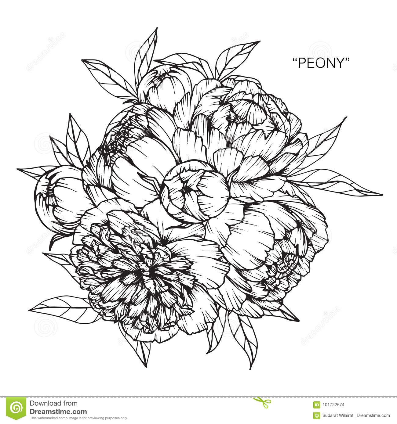 Peony Flower Line Drawing : Bouquet of peony flower drawing and sketch stock